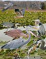 Great-blue Heron from The Crossley ID Guide Eastern Birds.jpg