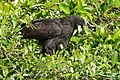 Great Black Hawk (Buteogallus urubitinga) - 48183762282.jpg