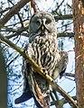Great Grey Owl (Strix nebulosa), Belarus 3.jpg