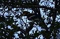Great Hornbills from Anamalai Tiger Reserve JEG1732.JPG