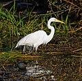 Great egret, common moorhen (9146961159).jpg
