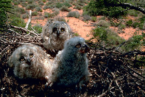 Baby Great Horned Owls that are 3 weeks old. T...