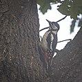 Great spotted woodpecker (50487841666).jpg