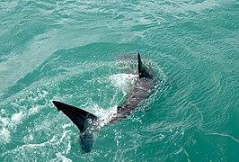 Great white shark, Carcharodon carcharias.jpg