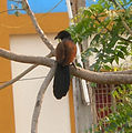 Greater Coucal (Centropus sinensis) at Madhurawada 02.JPG