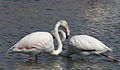 Greater Flamingo, Phoenicopterus roseus at Marievale Nature Reserve, Gauteng, South Africa (21459934482).jpg