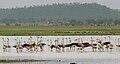 Greater Flamingoes (Phoenicopterus roseus) scape W2 IMG 9837.jpg