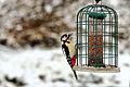 Greater Spotted Woodpecker - RSPB Sandy (24329386462).jpg