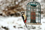 Greater Spotted Woodpecker - RSPB Sandy (24329386462).jpg