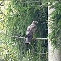 Greifvogel Mindelaltheim.jpg