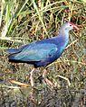 Grey-headed Swamphen Porphyrio porphyrio poliocephalus by Dr. Raju Kasambe DSCN6333 (13).jpg