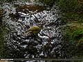 Grey-hooded Warbler (Phylloscopus xanthoschistos) (47714223492).jpg