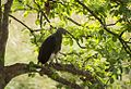 Grey headed fish Eagle.jpg