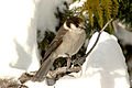 Grey jay, perched on branch, looking down.JPG