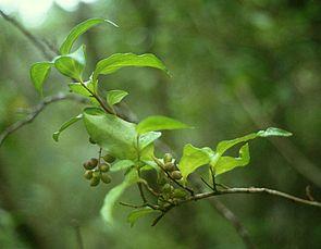 Griselinia racemosa, Zweig mit Früchten und Blättern.