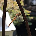 Große Heidelibelle Sympetrum striolatum 3346.jpg
