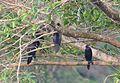 Group-of-little-cormorant-on-a-tree.jpg