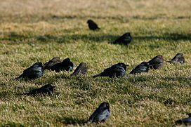 Group of Brewer's Blackbird.jpg