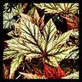 Gryphon Begonia - Flickr - pinemikey.jpg