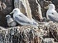Gulls (20083605748).jpg