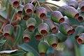 Gumnuts (24386182675).jpg