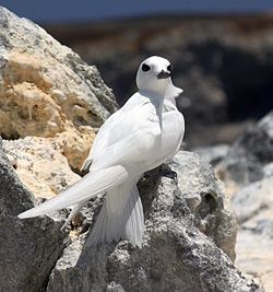 Gygis alba Ascension Island 1.jpg