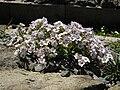 Gypsophila cerastioides 2.jpg