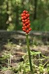 Höchberg 07.08.2016 Wild Arum - Arum maculatum (29218368675).jpg