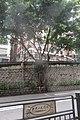 HK Mid-levels 堅道 Caine Road Dr Sun Yet Sen Tail sign n wall tree banyan September 2019 IX2 03.jpg