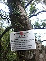HK Old Peak Road tree trunk Highways Dept Celtis Sinensis Chinese Hackberry Dec-2012.jpg