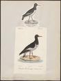 Haematopus ostralegus - 1700-1880 - Print - Iconographia Zoologica - Special Collections University of Amsterdam - UBA01 IZ17300005.tif