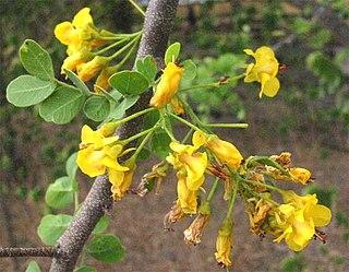 <i>Haematoxylum</i> Genus of plants
