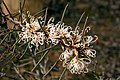 Hakea decurrens subsp. physocarpa (Bushy Needlewood) - Steiglitz, Victoria Australia (4804367548).jpg