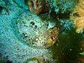 Haliotis laegivata Green lipped abalone P1021051.JPG