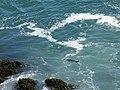 Harbor seal at Cape Sebastian shore - panoramio.jpg
