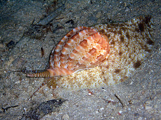 <i>Harpa</i> genus of molluscs