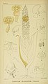 Harry Bolus - Orchids of South Africa - volume I plate 047 (1896).jpg