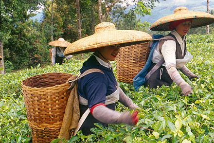 Harvesting tea in Bogor, West Java - Plantation