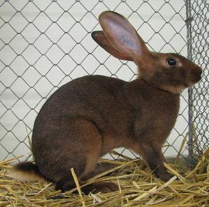 Belgian Hare - Wikipedia