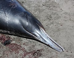 Head of stranded Gray's beaked whale.jpg