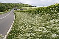 Hedge Parsley in the Hedgerow - geograph.org.uk - 438370.jpg
