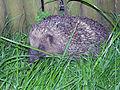Hedgehog 2 (3775546055).jpg