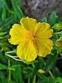 Helianthemum nummularium ssp. grandiflorum 002.JPG