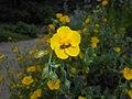 Helianthemum nummularium ssp. grandiflorum 2016-05-31 2102.jpg
