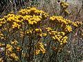 Helichrysum italicum subsp microphyllum g08.jpg
