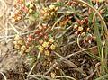 Helichrysum lineare, blomme, Tweeling, d.jpg