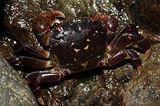 Grapsoidea superfamily of crustaceans