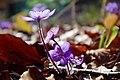 Hepatica nobilis 0513.jpg