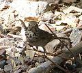 Hermit Thrush. Catharus guttatus (2) - Flickr - gailhampshire.jpg