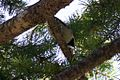 Hermit Warbler - Rustler Park - Cave Creek - AZ - 2015-08-16at10-06-052 (21016220953).jpg